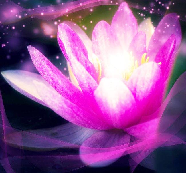 Fleur de Lotus, signification de ce symbole bouddhiste